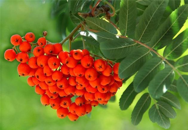 рябиновое дерево
