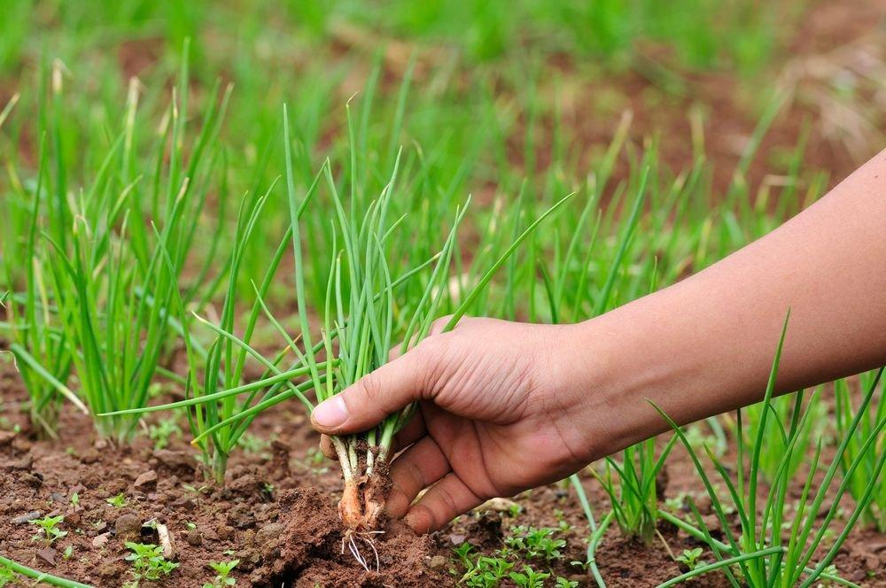 Как сажать лук: особенности посадки и выращивания лука-севка в открытом грунте