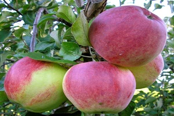 Яблоня имант: описание, фото, отзывы