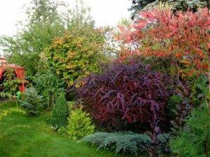 Дерево сумах (уксусное дерево): описание, посадка и уход