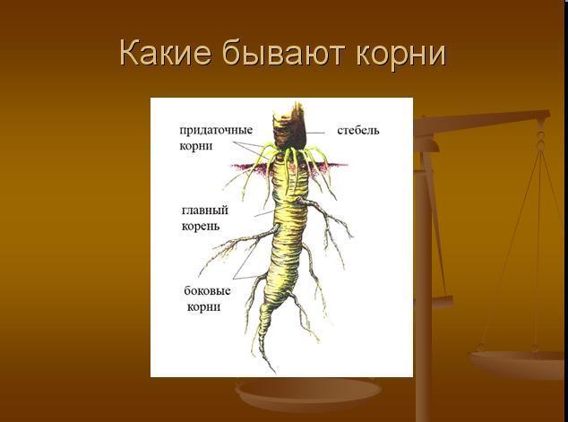 разновидности корней
