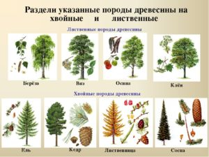 хвойные растения примеры названия