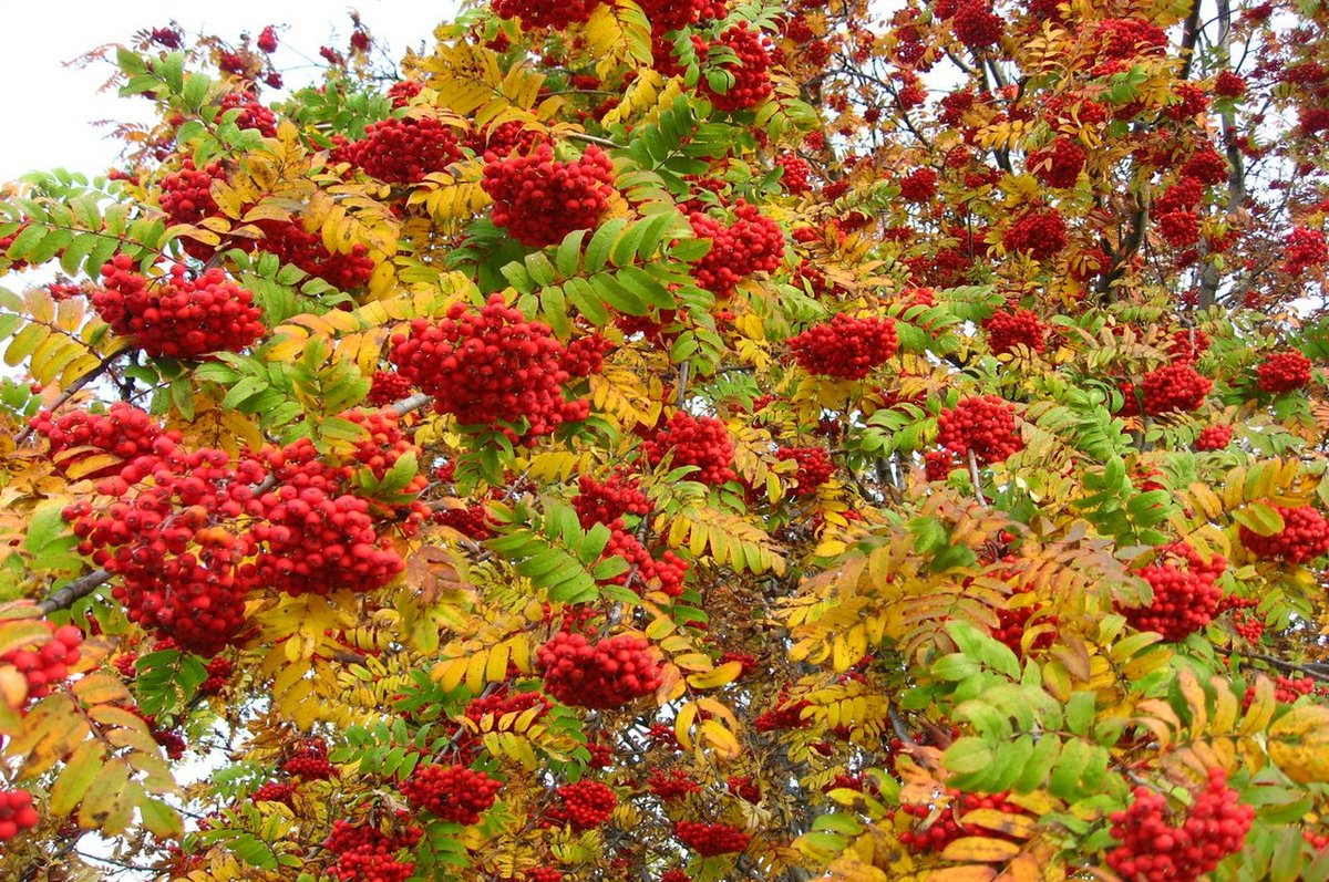 Рябина обыкновенная дерево плоды  лист