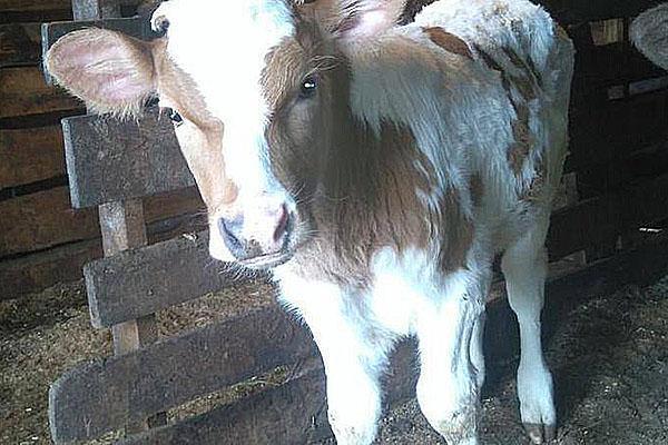 Тонкости бизнеса по разведению бычков на мясо. разведение бычков на мясо как бизнес в домашних условиях