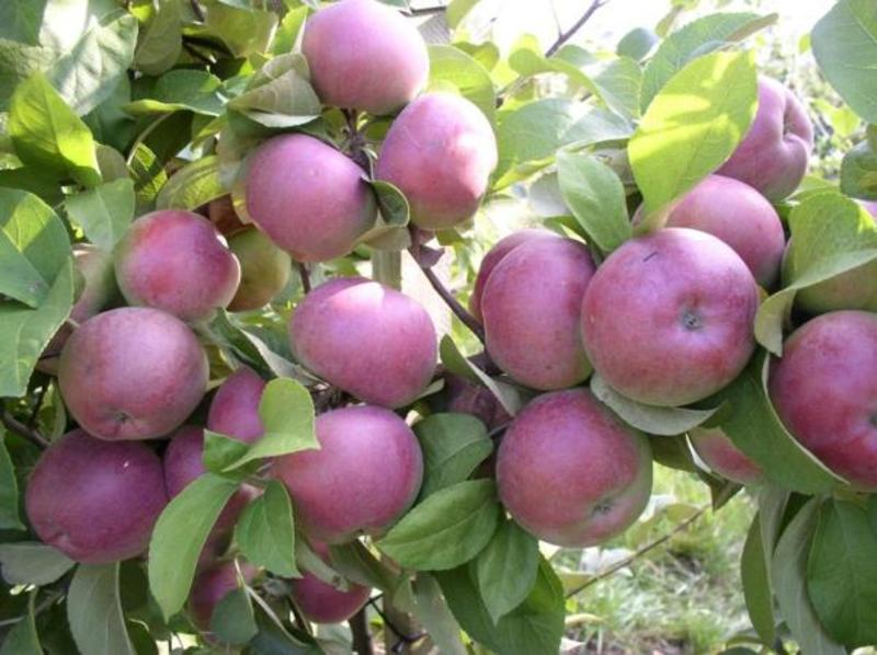 каштеля яблоня