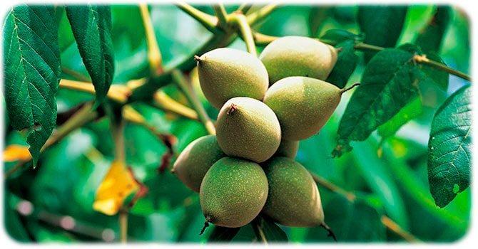 маньчжурский орех дерево