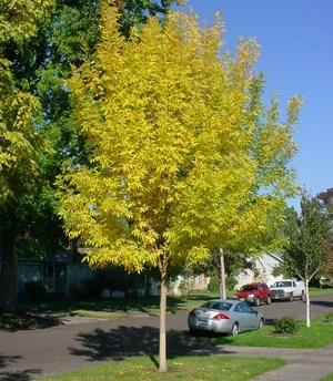 Ясень обыкновенный: свойства, высота и описание дерева