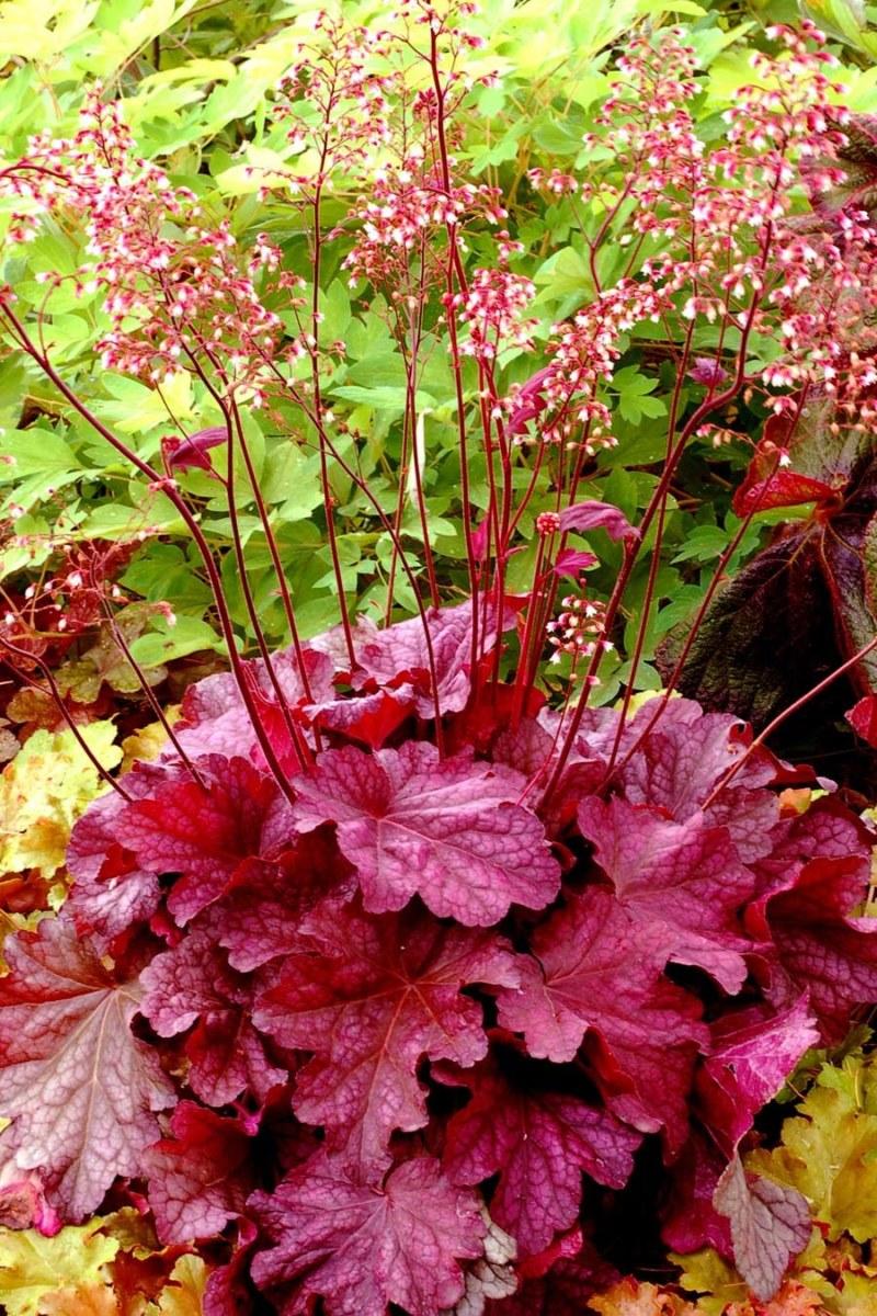 гейхера фото цветов