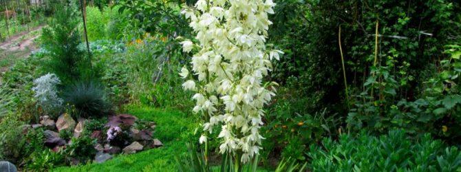 Цветок юкка комнатная: уход в домашних условиях
