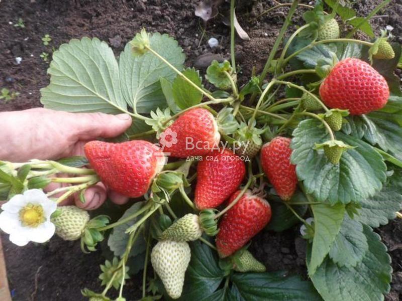 Садовая земляника: посадка и уход, описание выращивания, обрезка, размножение, фото