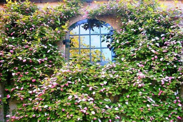 Лучшие декоративные лианы для дизайна сада: однолетние, многолетние, красивоцветущие и экзотические