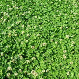 газон клевер