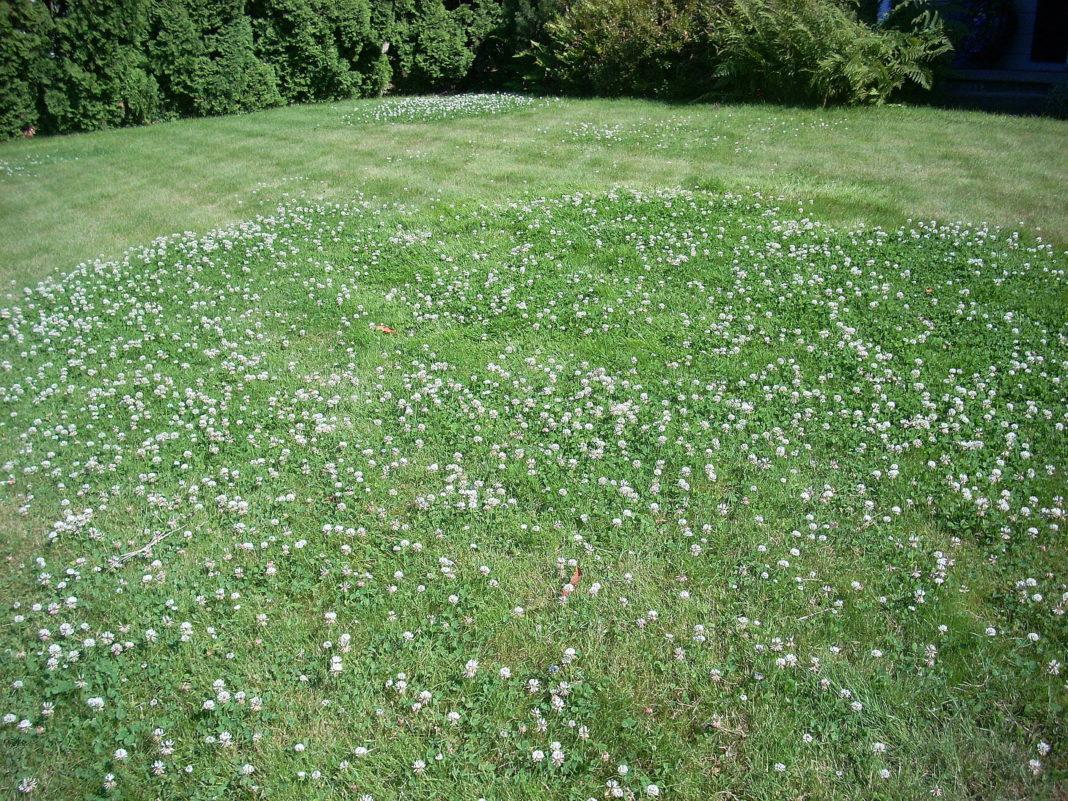Все об уходе за газоном из клевера белого. условия выращивания клевера как зеленого удобрения (сидерата) когда сажать клевер осенью или весной