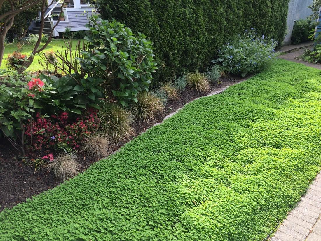 Клевер для газона: лучшие декоративные сорта, как посадить и ухаживать