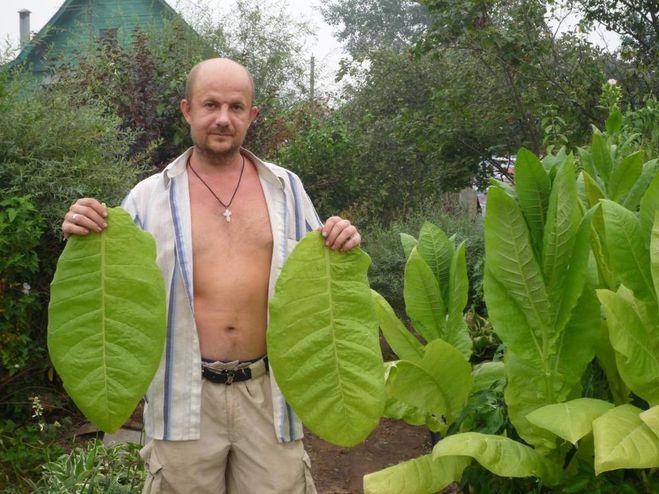 можно ли выращивать табак дома