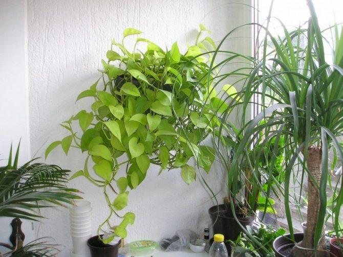 Вьющиеся комнатные растения с названиями: 100+ вариантов на фот