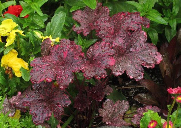 Гейхера кроваво-красная (25 фото): карминно-красные сорта, coral forest и другие. посадка, уход и размножение