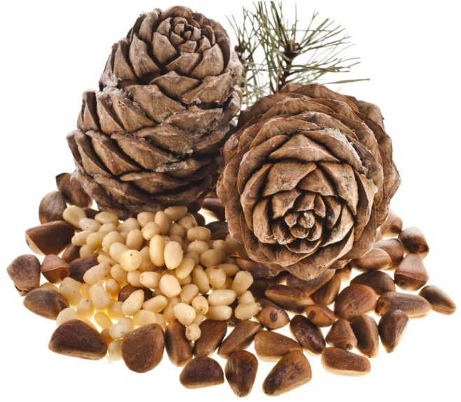 Как вырастить кедр из орешка в домашних условиях? 24 фото как посадить семена? пошаговое выращивание ростка из шишки