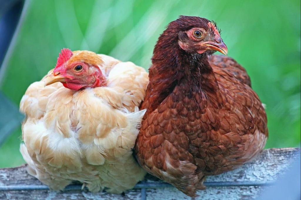 ощипывание кур