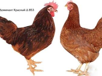доминанты порода кур описание фото отзывы
