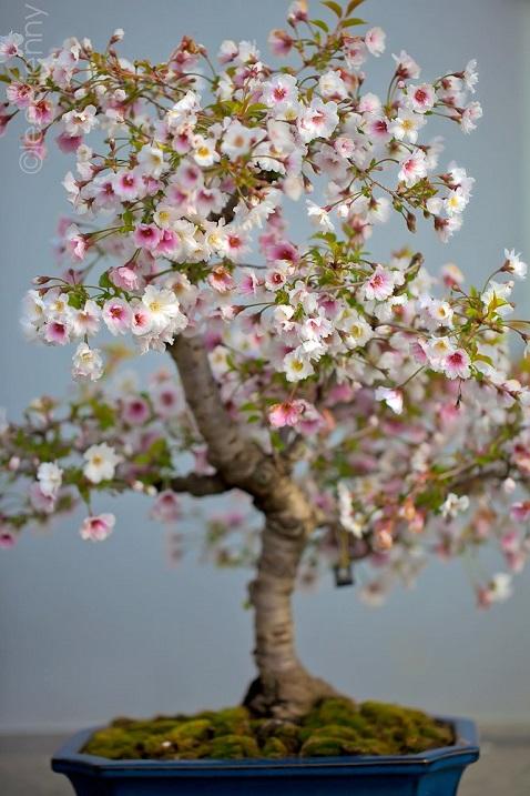 Бонсай своими руками - как вырастить дерево бонсай +30 фото