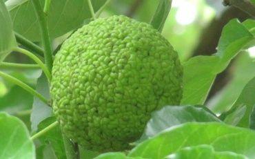 Адамово яблоко: лечебные свойства и рецепты приготовления