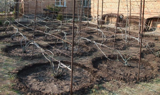 как накрыть виноград на зиму