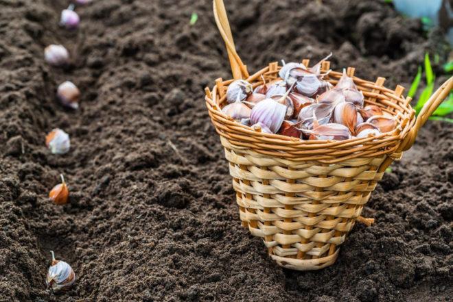 Как сажать чеснок под зиму - правила посадки и рекомендации