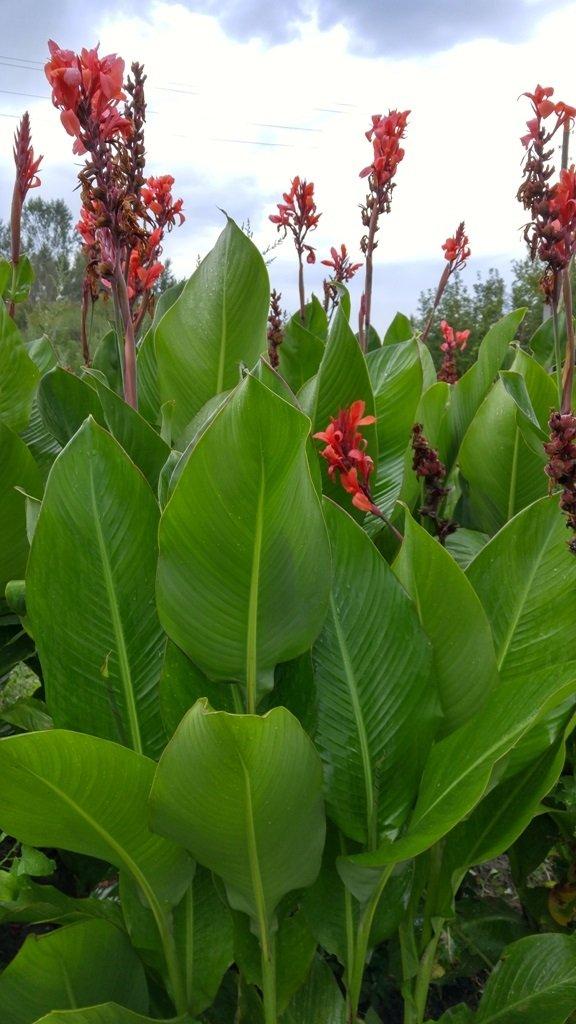 Канна: посадка и уход в открытом грунте, выращивание и сочетание в ландшафтном дизайне, фото, размножение сорта