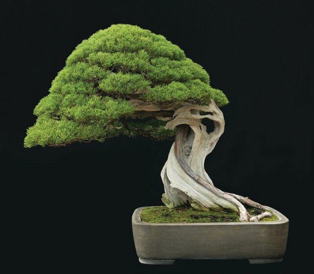 маленькое дерево бонсай