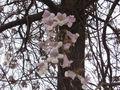 Павловния (paulownia) — описание, выращивание, фото | на leplants.ru