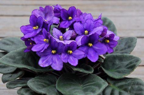 как выглядит цветок фиалка