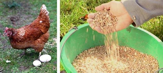 Экономия на комбикорме для кур и состав комбикорма своими руками