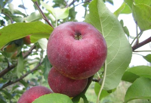 лобо яблоко