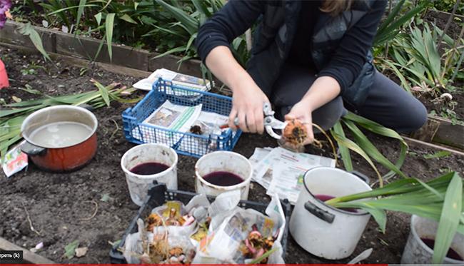 Как хранить гладиолусы зимой в домашних условиях: когда выкапывать, как сохранить луковицы в квартире