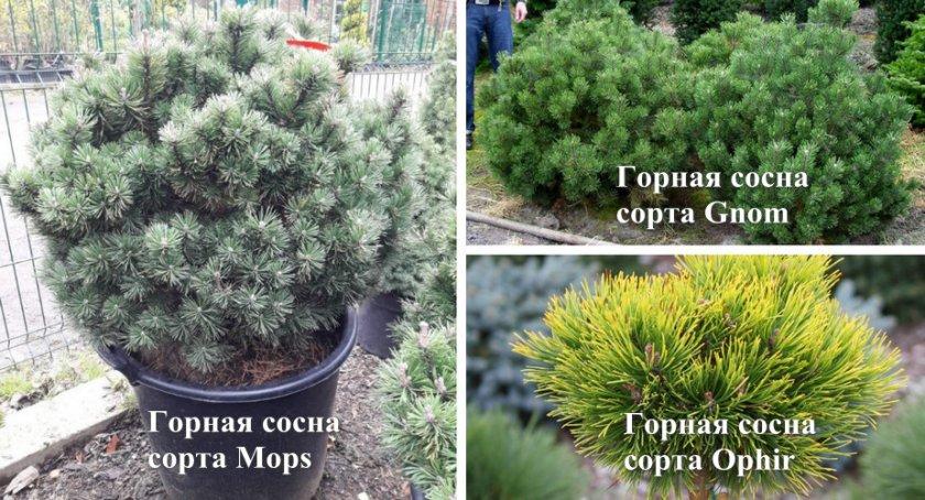 Какие хвойные культуры можно вырастить из шишек? ели? сосны? лиственницы? на supersadovnik.ru