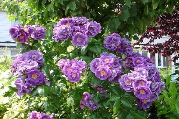 роза рапсодия блю энциклопедия роз