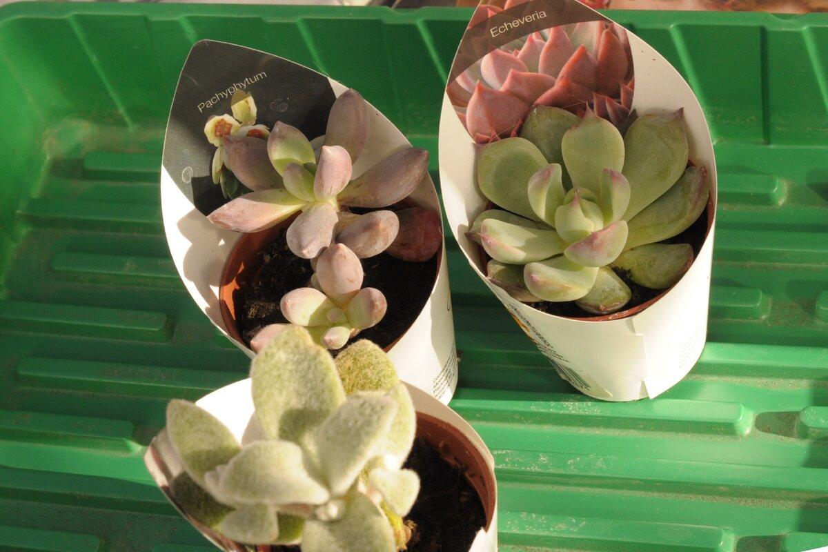 Правильный полив алоэ – половина успеха выращивания суккулента