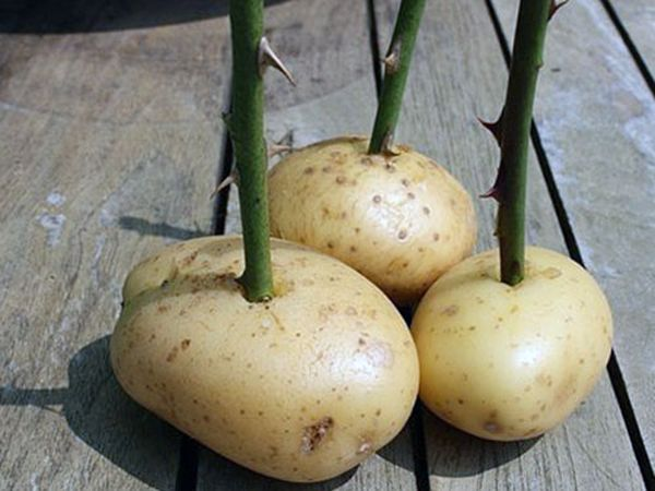 Как вырастить розу в картошке из черенка: способы для грунта