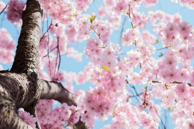 Цветение сакуры в японии • страны мира, города и туризм