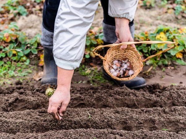 Чеснок под посадку под зиму: на какую глубину правильно заделывать в открытый грунт, чтобы он был крупный, когда осенью на даче это делать и как, последующий уход русский фермер