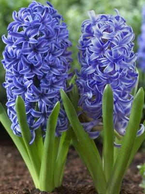 весенние цветы луковичные