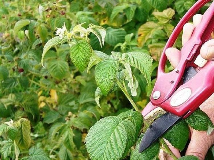 Малина: выращивание в саду, размножение, сорта