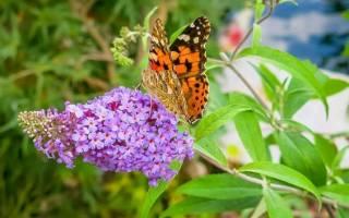 Буддлея: разновидности и особенности выращивания