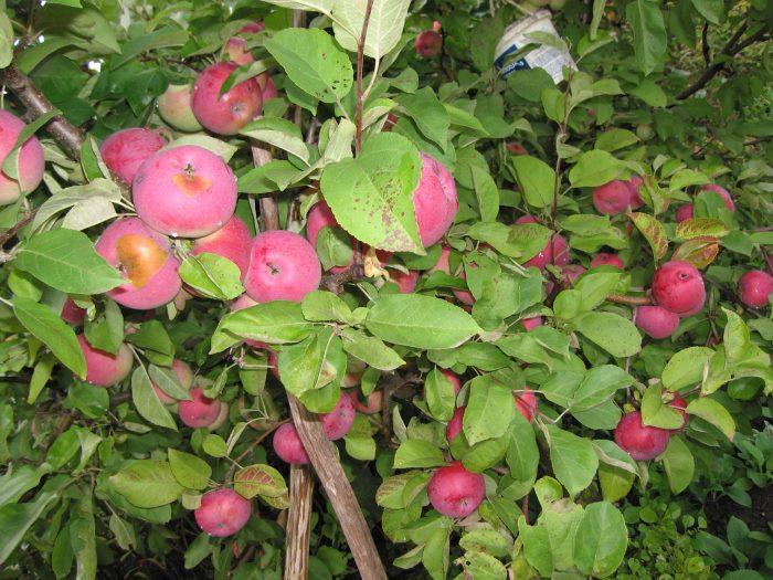 Сорт яблони лобо: описание, фото