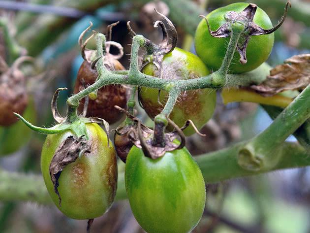 чем обработать помидоры от фитофторы