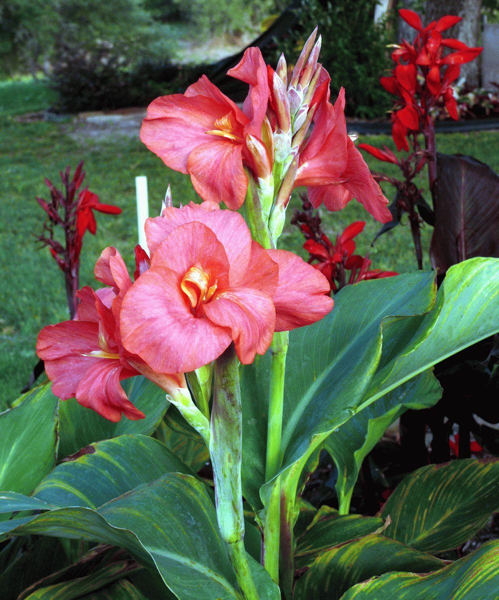 Канна: описание, особенности растения и выращивание