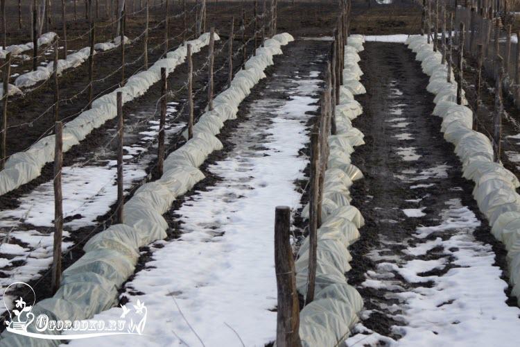 при какой температуре закрывать виноград
