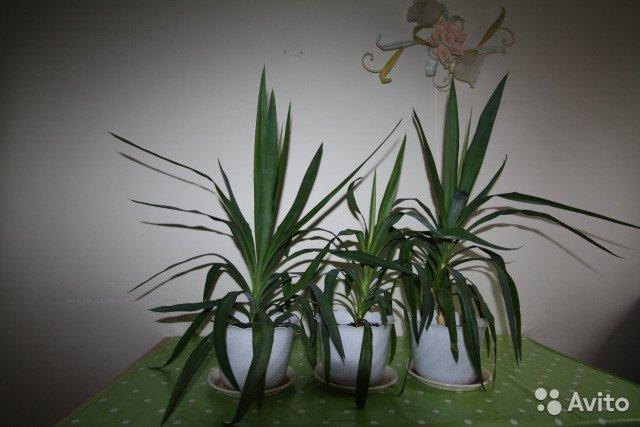 Юкка садовая: посадка и уход, фото, особенности выращивания, размножение - sadovnikam.ru