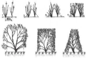 Декоративный кустарник с трёхсотлетней историей, предмет гордости садоводов — кизильник обыкновенный, и не только